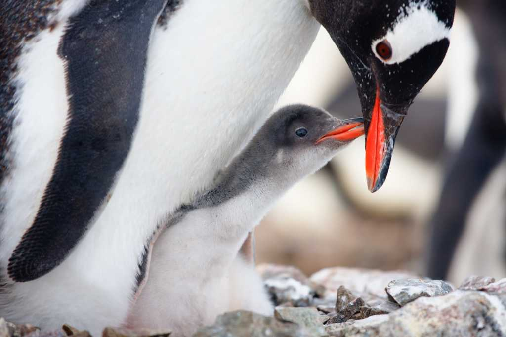 linux penguin image mother baby penguin